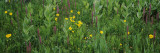 Flowers in a Field, Uncompahgre National Forest, Colorado, USA Photographic Print by  Panoramic Images