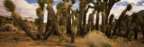 Joshua Trees in a Landscape, Walker Pass, Kern County, California, USA Photographic Print by  Panoramic Images
