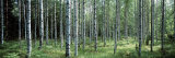 White Birches Aulanko National Park Finland Photographic Print by  Panoramic Images