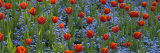 Tulips in a Garden, Butchart Gardens, Victoria, Vancouver Island, British Columbia, Canada Photographic Print by  Panoramic Images
