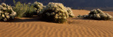 Birdcage Evening Primroses in a Desert, California, USA Photographic Print by  Panoramic Images