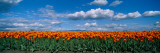 Clouds over a Tulip Field, Skagit Valley, Washington State, USA Photographic Print by  Panoramic Images