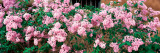 Flowers Taos, NM Photographic Print by  Panoramic Images