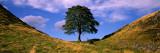 Panoramic Images - Lone Tree Hadrian's Wall Northumberland England Fotografická reprodukce