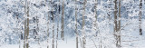 Aspen Trees Covered with Snow, Taos County, New Mexico, USA Papier Photo par  Panoramic Images