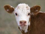 Calf Portrait Fotografisk tryk