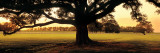Louisiana, Oak Tree at Sunset Lámina fotográfica por Panoramic Images