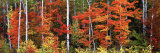 Maple and Birch Trees in a Forest, Maine, USA Photographic Print by  Panoramic Images