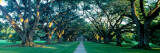 Louisiana, New Orleans, Oak Alley Plantation, Home Through Alley of Oak Trees, Sunset Photographic Print by  Panoramic Images