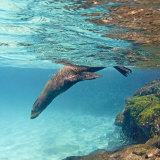 Galapagos Sea Lion Swimming Underwater, Ecuador Photographic Print