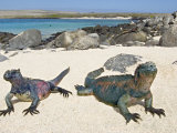Two Marine Iguanas on Sand, Ecuador Photographic Print