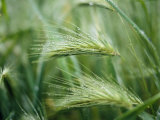 Dew Drops on Barley, San Francisco, California, USA Photographic Print