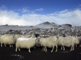 Flock of Sheep on a Mountain, Central Highlands, Iceland Photographic Print