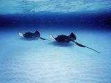 Southern Stingrays Grand Caymans Photographic Print