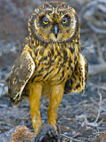 Close-up of a Short-Eared Owl with a Galapagos Petrel Photographie