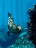 Galapagos Sea Lion Swimming Underwater, Ecuador Photographic Print