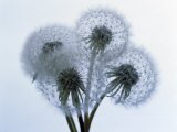 Close-up of Four Dandelion Heads in Seed on Stems Photographic Print