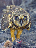 Close-up of a Short-Eared Owl with a Storm Petrel in its Claws Photographie