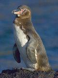 Galapagos Penguin on a Rock, Ecuador Photographic Print
