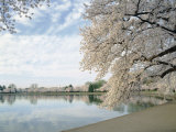 Cherry Blossom Trees around the Tidal Basin, Washington DC, USA Photographic Print