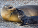 Galapagos Sea Lion with its Young One, Ecuador Photographic Print