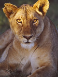 Lioness Tanzania Africa Photographic Print