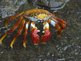 High Angle View of a Sally Lightfoot Crab, Ecuador Photographic Print