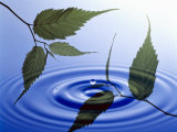 Two Branches with Green Leaves Floating Above Blue Water Ripples Photographic Print