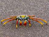 Close-up of a Sally Lightfoot Crab, Ecuador Photographic Print