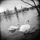 Two Swans in a River, Vltava River, Prague, Czech Republic Photographic Print