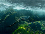 Marine Iguana Swimming Underwater, Ecuador Photographic Print