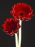 Close-up of Two Deep Red Flowers with White Stems on Black Background Photographic Print