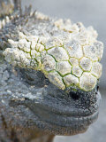 Close-up of a Marine Iguana, Ecuador Photographic Print