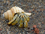 Close-up of a Hermit Crab, Ecuador Photographic Print