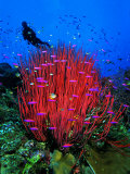 A Colony of Scarlet Red Soft Quirt Corals Photographic Print by Andrea Ferrari