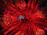 Zebra Crab (Zebrida Adamsii) in Symbiosis with an Astropyga Radiata Sea Urchin Fotografisk tryk af Andrea Ferrari