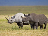 Side Profile of Two Black Rhinoceroses Standing in a Field, Ngorongoro Crater Photographic Print