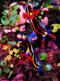 Mating of Two Specimen of Nembrotha Purpureolineolata Photographic Print by Andrea Ferrari