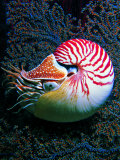 Nautilo (Nautilus Pompilius) Photographic Print by Andrea Ferrari