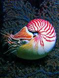 Nautilo (Nautilus Pompilius) Photographic Print by Andrea Ferrari