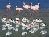 Avocets and Flamingos Standing in Water, Ngorongoro Crater, Ngorongoro Conservation Area, Tanzania Photographic Print