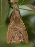 Close-up of a Bat Hanging from a Branch, Lake Manyara, Arusha Region, Tanzania Photographic Print