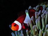 Clown Fish (Amphiprion Ocellaris) Photographie par Andrea Ferrari