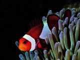 Clown Fish (Amphiprion Ocellaris) Photographic Print by Andrea Ferrari