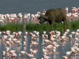 Cape Buffalo and Lesser Flamingos Photographic Print