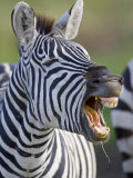 Close-up of a Zebra Calling, Ngorongoro Crater, Ngorongoro Conservation Area, Tanzania Photographic Print