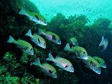 A Shoal of Speckled Sweetlips (Plectorhinchus Fishes) Fotografisk tryk af Andrea Ferrari