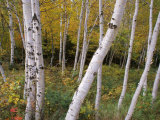 Stand of White Birch Trees Photographic Print