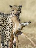 Close-up of a Cheetah Carrying its Kill Photographic Print
