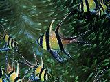Cardinal Fishes of the Banggai Fotografisk tryk af Andrea Ferrari